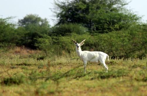 Antilopă cu coarne spiralate albinoasă (Foto: © Bhattpratik89)