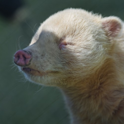 Coati albinos (Foto: Tambako The Jaguar / CC BY-ND 2.0)