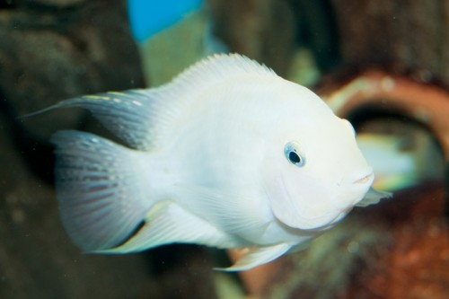 Nigro albinos
