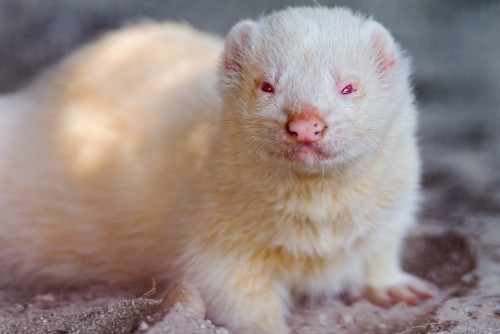 Dihor albinos (Foto: Tambako The Jaguar / CC BY-ND 2.0)