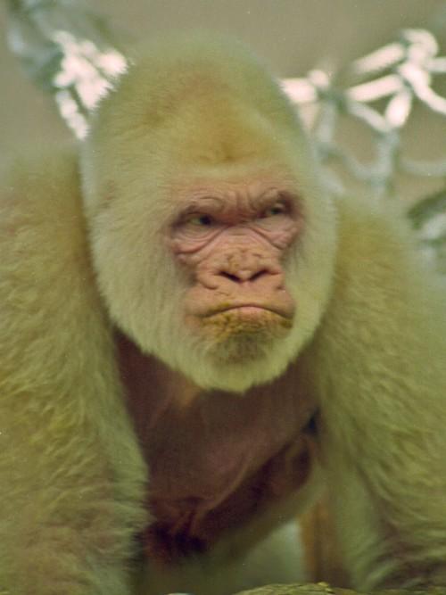 Gorilă albinoasă