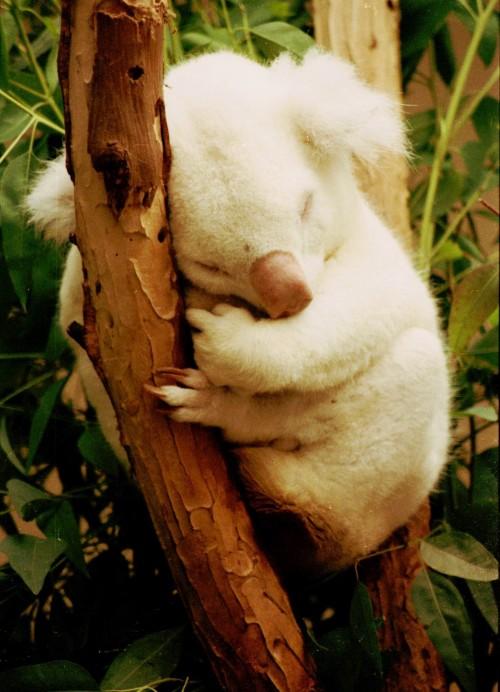 Koala albinos (Foto: Bill Kuffrey / CC BY 2.0)