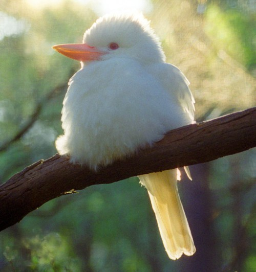 Kookaburra albinoasă