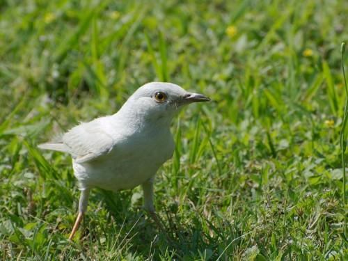 Mockingbird albinos (Foto: glenn_e_wilson / CC BY 2.0)