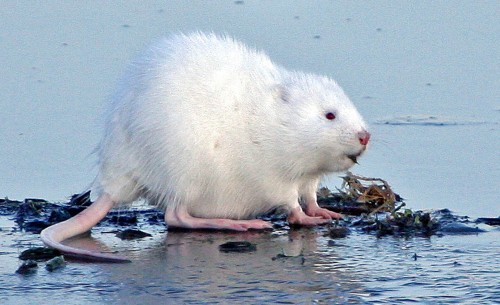 Şobolan cu miros de mosc albinos (Foto: USFWS Mountain-Prairie / CC BY 2.0)