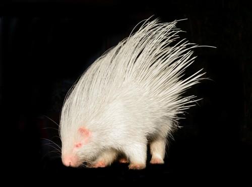 Porc spinos albinos (Foto: © Anankkml)