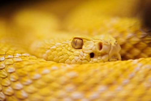 Şarpe cu clopoţei albinos (Foto: Tambako The Jaguar / CC BY-ND 2.0)