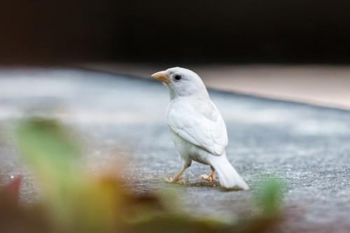 Vrabie albinoasă