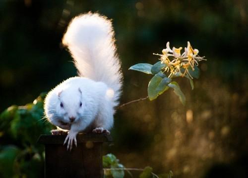 Veveriţă albinoasă (Foto: Lauren Liston / CC BY 2.0)