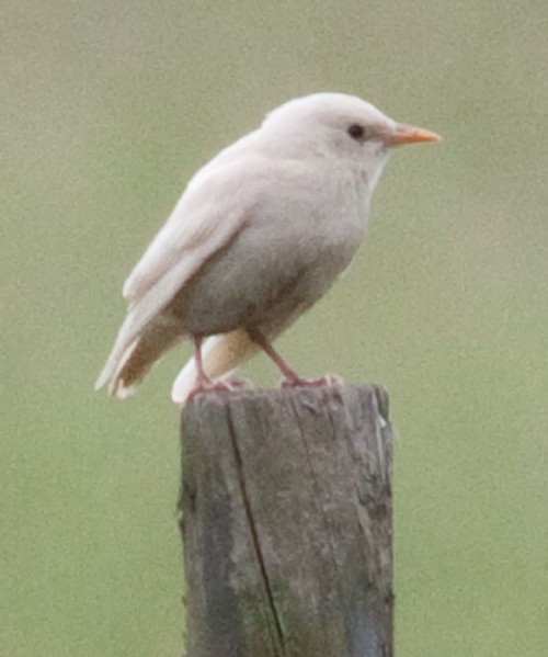 Graur albinos/leucistic (Foto: barry jones / CC BY 2.0)