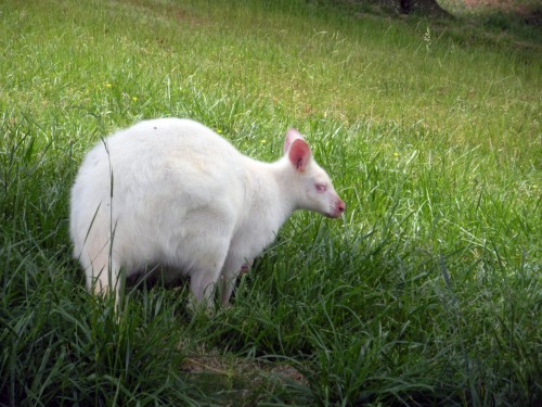 Wallaby albinos (Foto: thethrillstheyyield / CC BY ND 2.0)