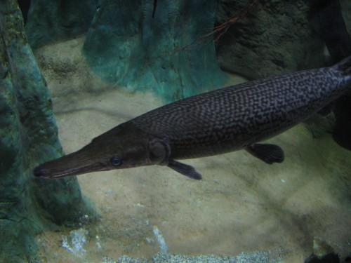Peşte aligator (Foto: shankar s. / CC BY 2.0)