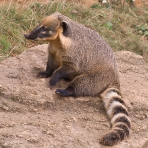 Coati obişnuit (Foto: Neil McIntosh / CC BY 2.0)
