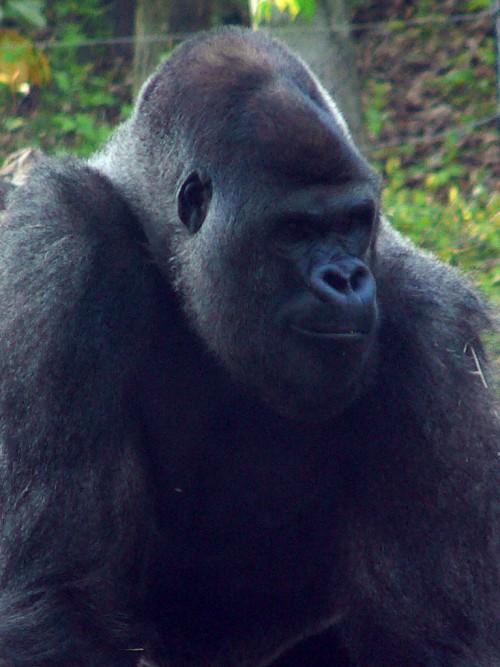 Gorilă