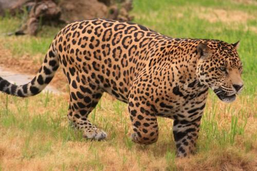 Jaguar obişnuit