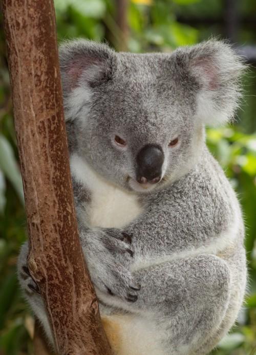Koala obişnuit (Foto: Brian Gratwicke / CC BY 2.0)