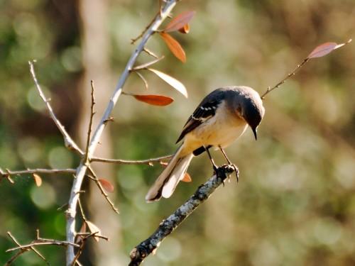 Mockingbird obişnuit (Foto: J Labrador / CC BY 2.0)