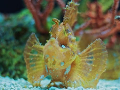Peşte scorpion (Foto: Michael Bentley / CC BY 2.0)
