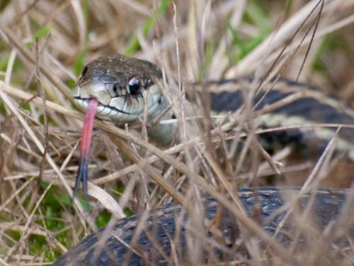 Şarpe obişnuit (Foto: Ingrid Taylar / CC BY 2.0)
