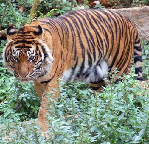 Tigru obişnuit