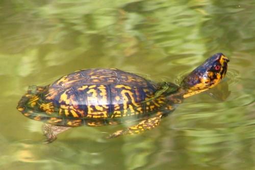 Ţestoasă obişnuită (Foto: Brent Moore / CC BY 2.0)