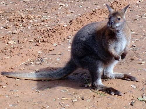 Wallaby obişnuit