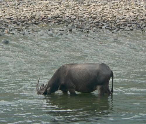 Bivol indian obişnuit (Foto: Ben Burkland, Carolyn Cook / CC BY 2.0)