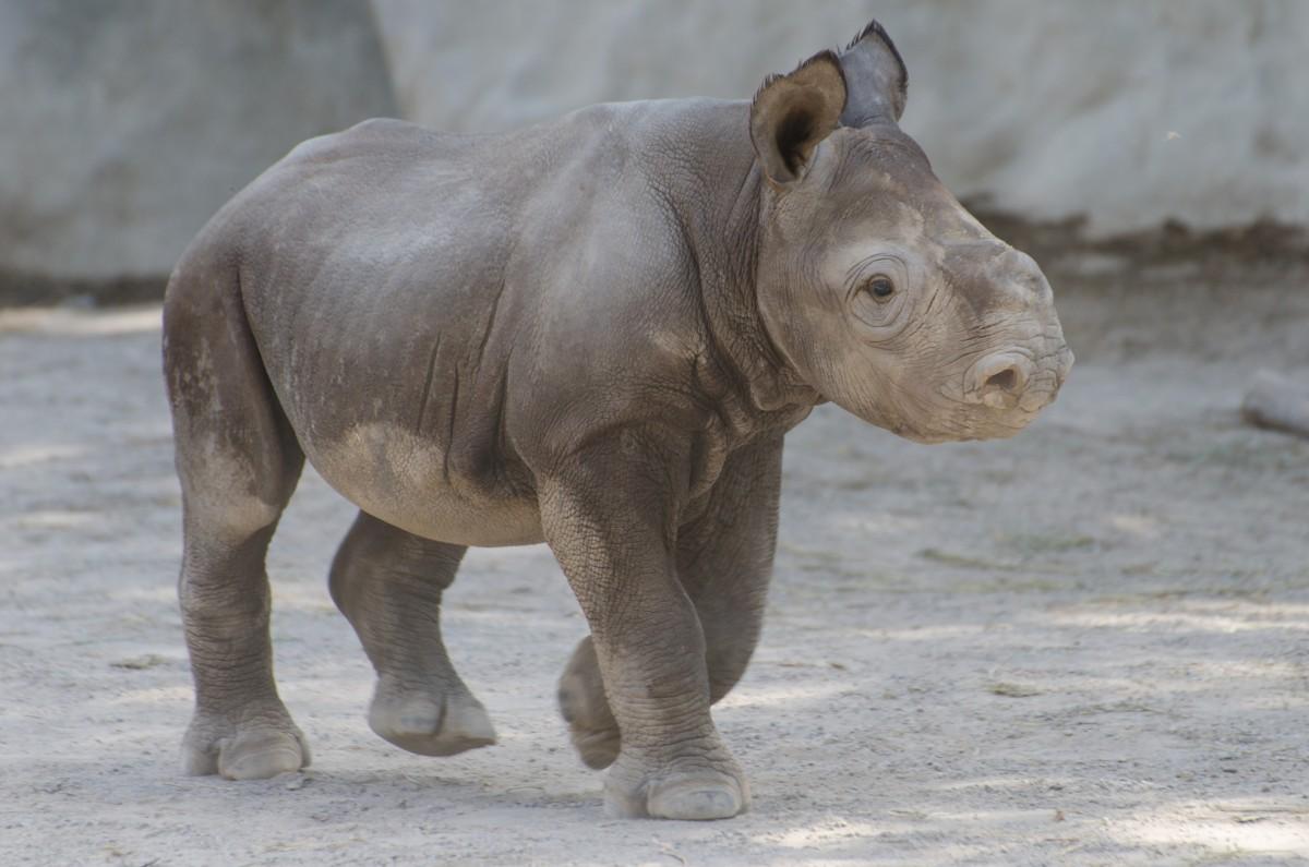 Pui de rinocer negru