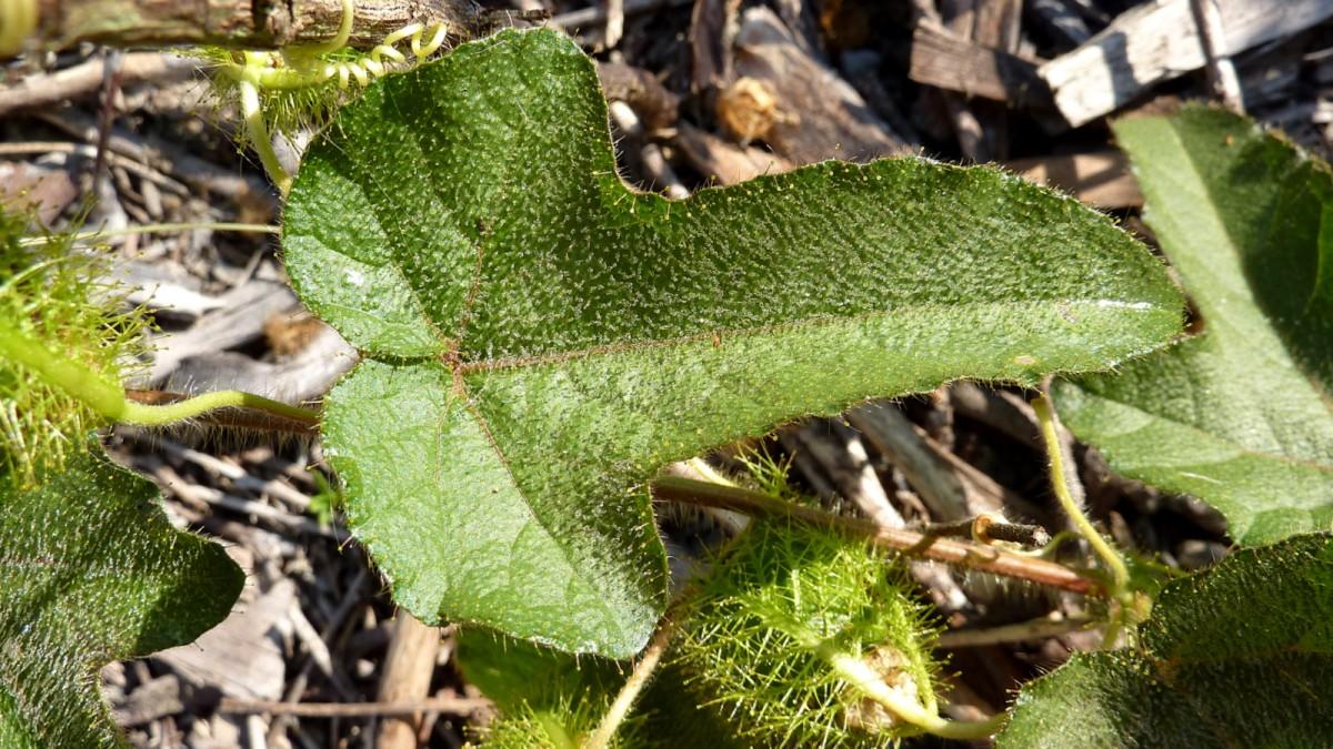 Frunze de Passiflora foetida