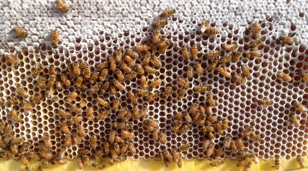 Albine la lucru pe fagure