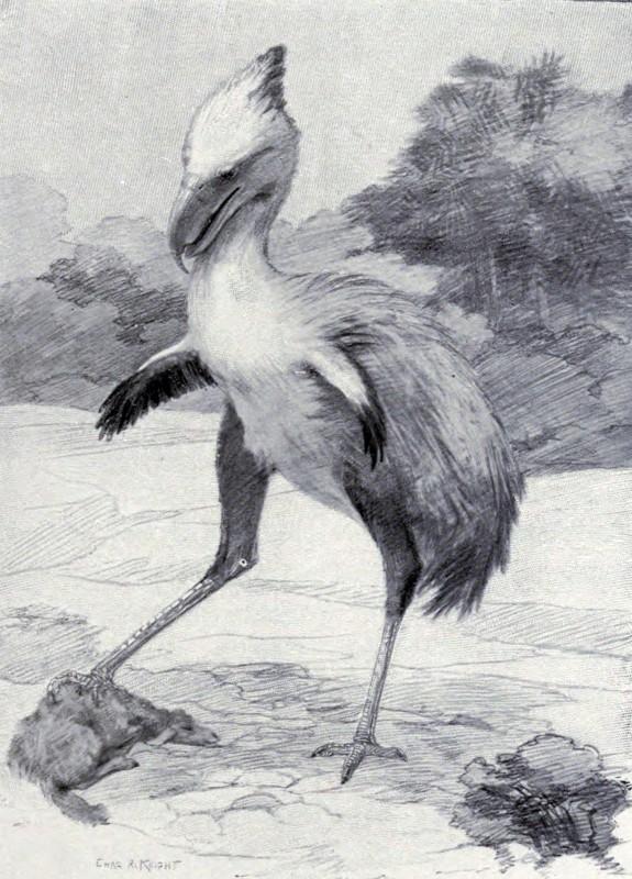 Phorusrhacos longissimus