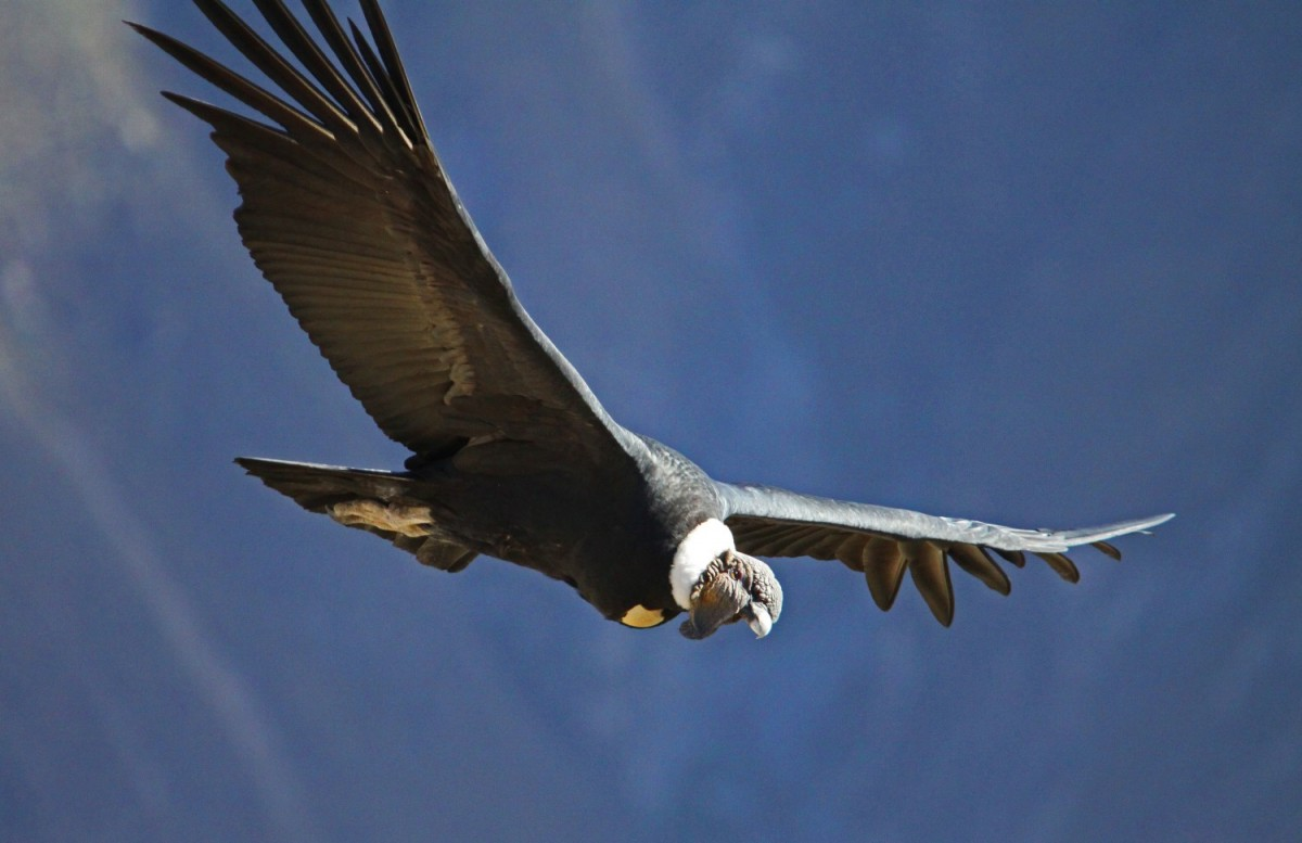 Condorul andin - Vultur gryphus