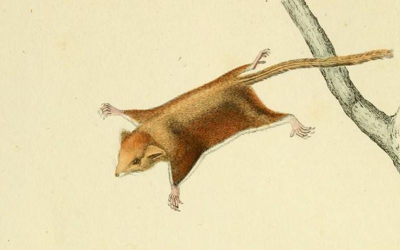 Şoarece zburător