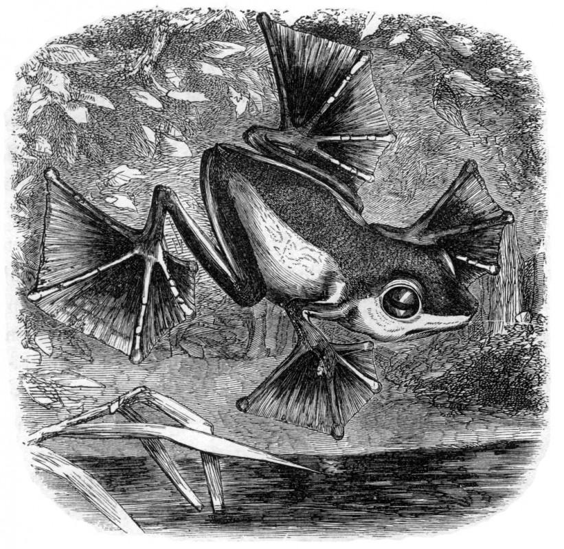 Broască zburătoare