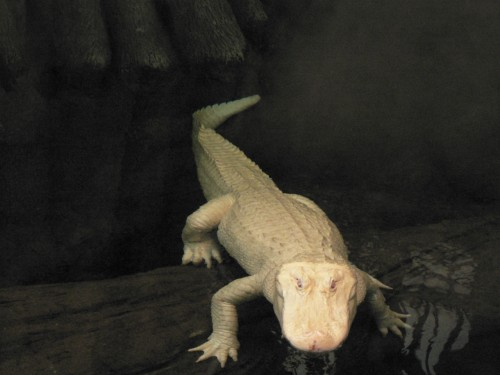 Aligator albinos