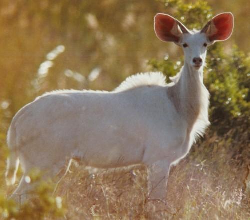 Kudu albinos
