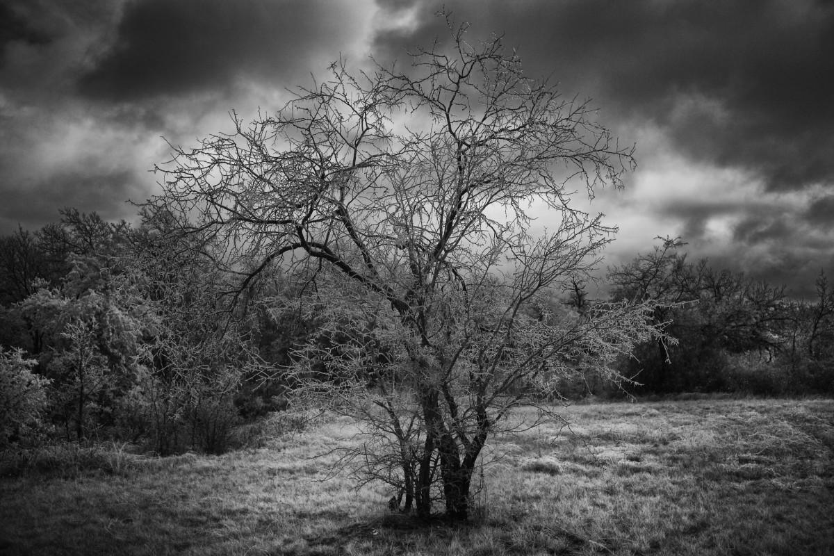 Copac îngheţat