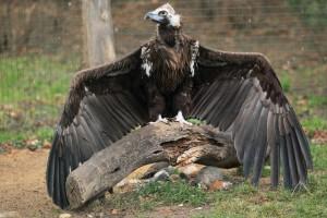 Vulturul pleșuv negru - Aegypius monachus
