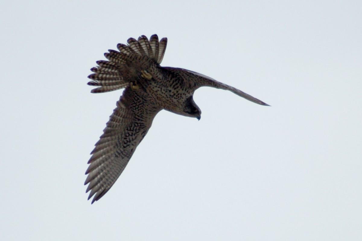 Șoimul de tundră - Falco rusticolus