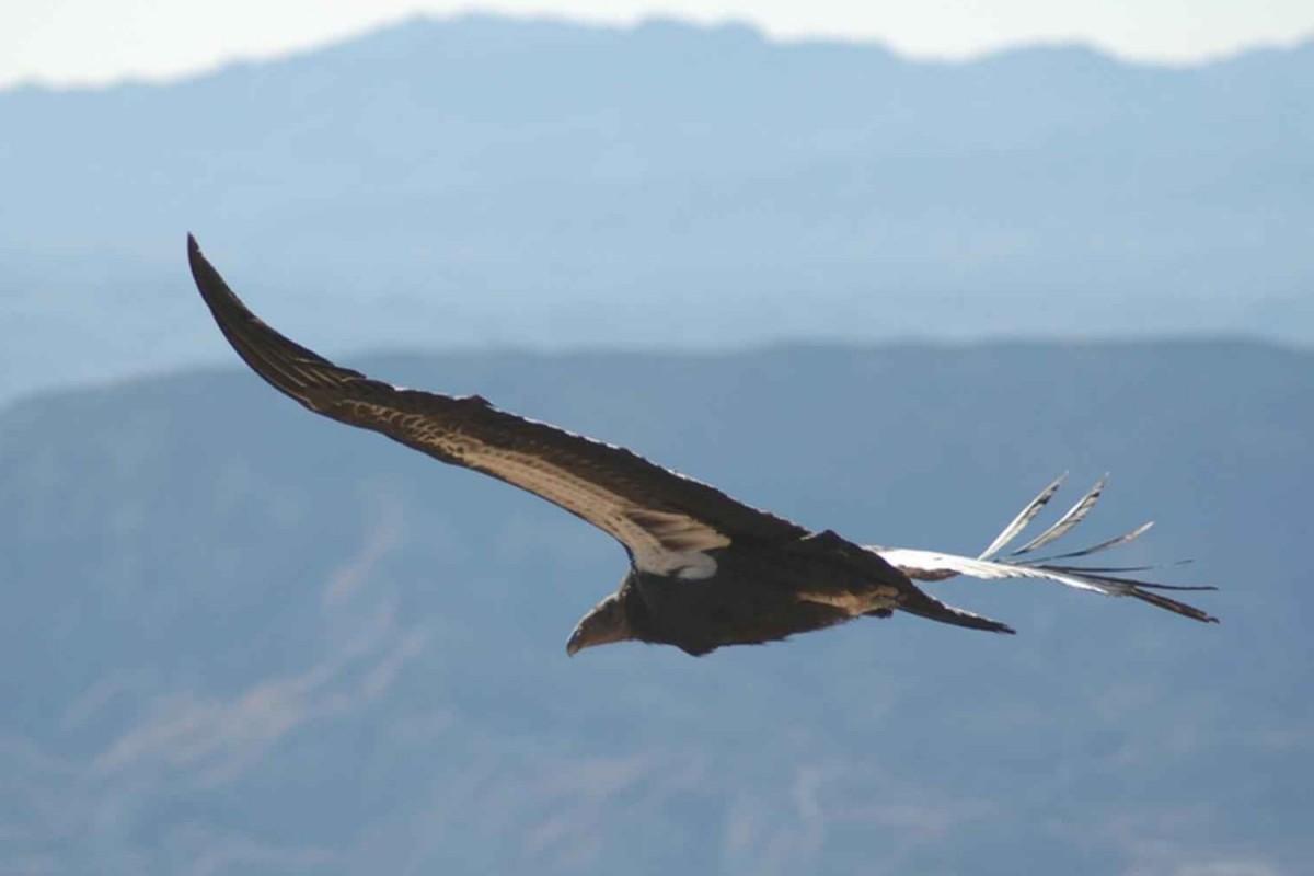 Condorul californian - Gymnogyps californianus