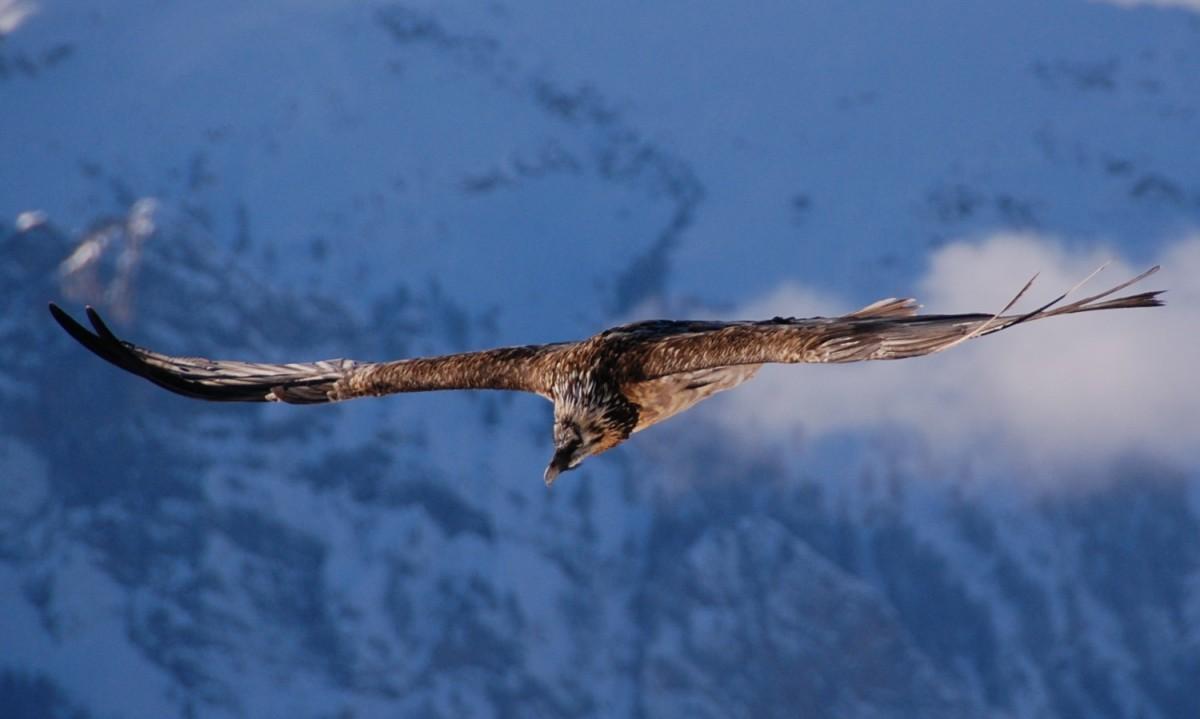 Vulturul cu barbă - Gypaetus barbatus
