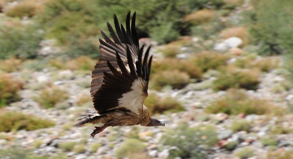 Vulturul himalaian - Gyps himalayensis