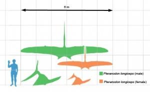 Pteranodon longiceps la scară