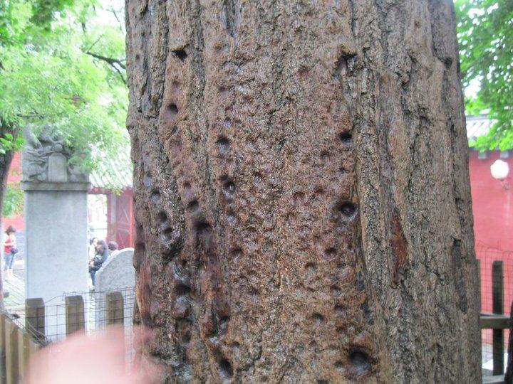Copac lovit cu degetul la Templul Shaolin