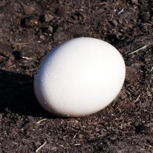 Ou de struţ