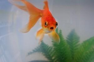 Peştişorul de aur